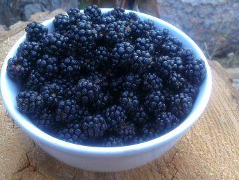 Bowl of Wild Blackberries